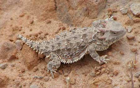 壁纸 动物 昆虫 桌面 蜥 蜥蜴 450_286