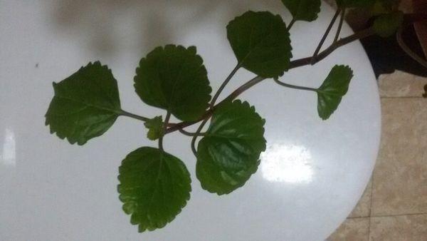 在水里生长的一种圆形叶子,开小碎花是什么水生植物