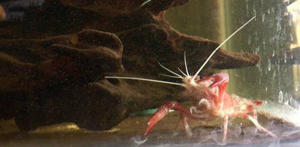 这种虾因有斑点身价大涨,一只20万元 - 耄耋顽童 - 耄耋顽童博客 欢迎光临指导