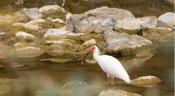 陕西商洛首次发现珍稀鸟类朱鹮
