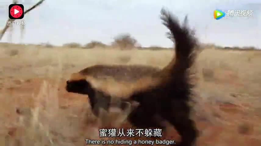 蜜獾是动物世界中最勇敢动物!