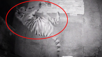 东北虎完达山1号虎舍首次进食视频曝光:约3公斤,已排便