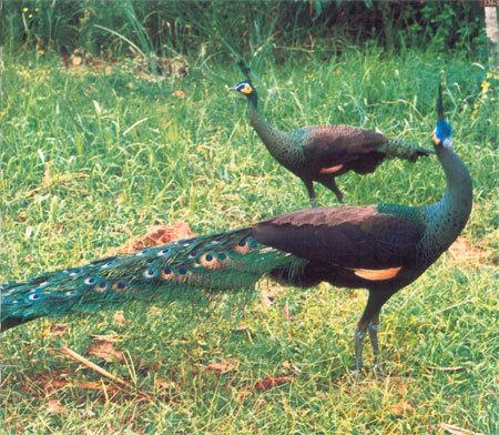 孔雀动物翅膀图片素材