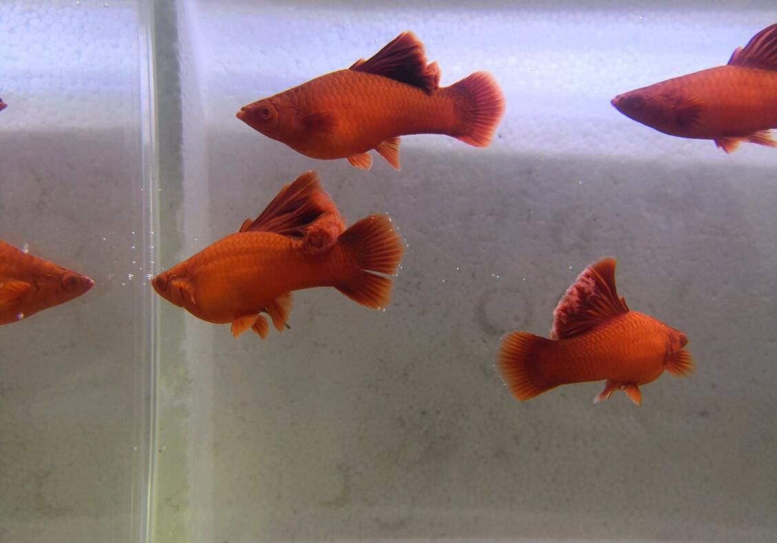 高鳍红剑鱼和孔雀鱼混养结果整缸团灭,原因到底在哪?