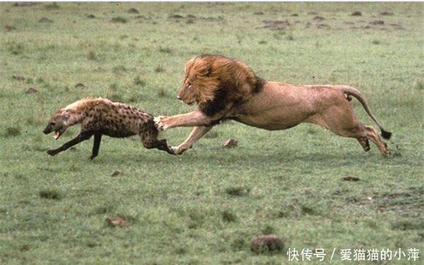 鬣狗见到它必死无疑!杀鬣狗最多的狮子为什么不吃鬣狗