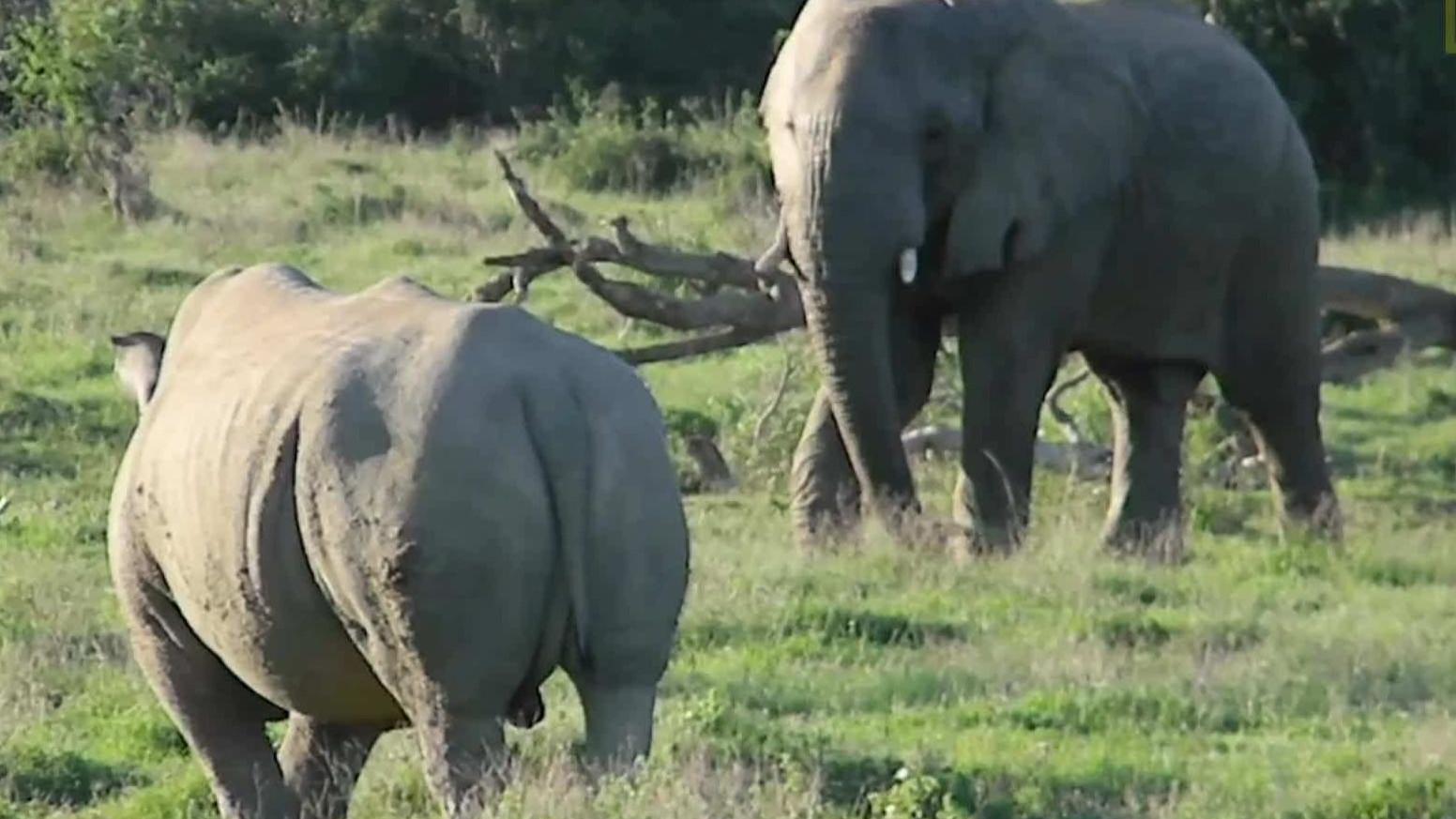 """""""陆地坦克速战""""!大象对战犀牛,游客拍下精彩全过程"""
