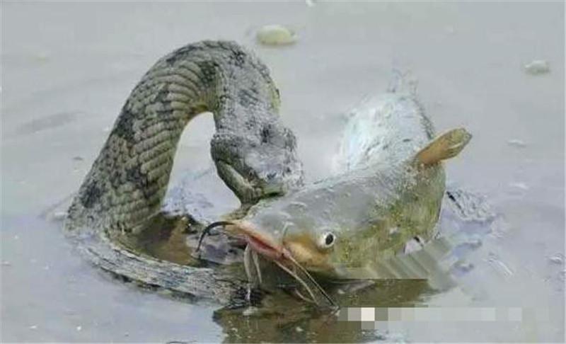 但是当蟒蛇正准备吞鱼时立刻就悲剧了,刚刚张开的血盆大口被鲶鱼的