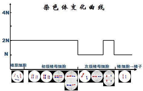 减数分裂过程中染色体数目的减半到底几次?