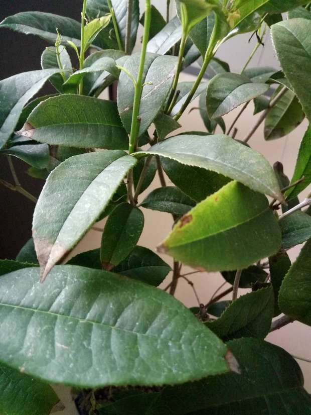 桂花树叶子尖发黄,是什么原因
