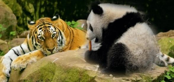 狮子和老虎为何不吃大熊猫?熊猫请你查一下老子以前名字!