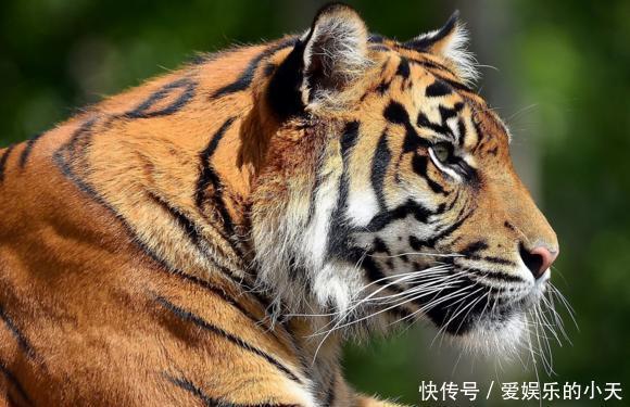 如果说世界上最强壮的男人,可以和老虎相匹敌吗