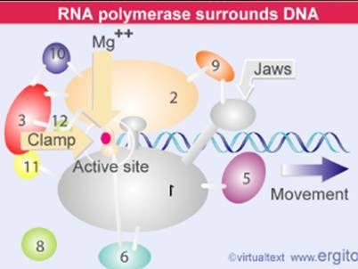 酵母的聚合酶与细菌聚合酶有相似的结构