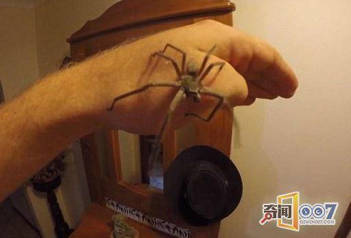 毛骨悚然!男子与巨型毒蜘蛛同吃共睡 -  - 真光 的博客