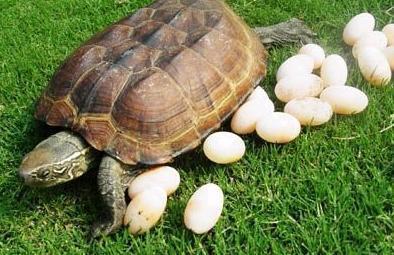 我有三只乌龟蛋,想孵化它们,但除了用土和沙子外,还有没有其他孵