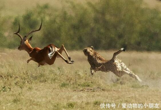 <b>猎豹妈妈捕猎黑斑羚,自己不舍得吃一口,网友:当妈不容易!</b>