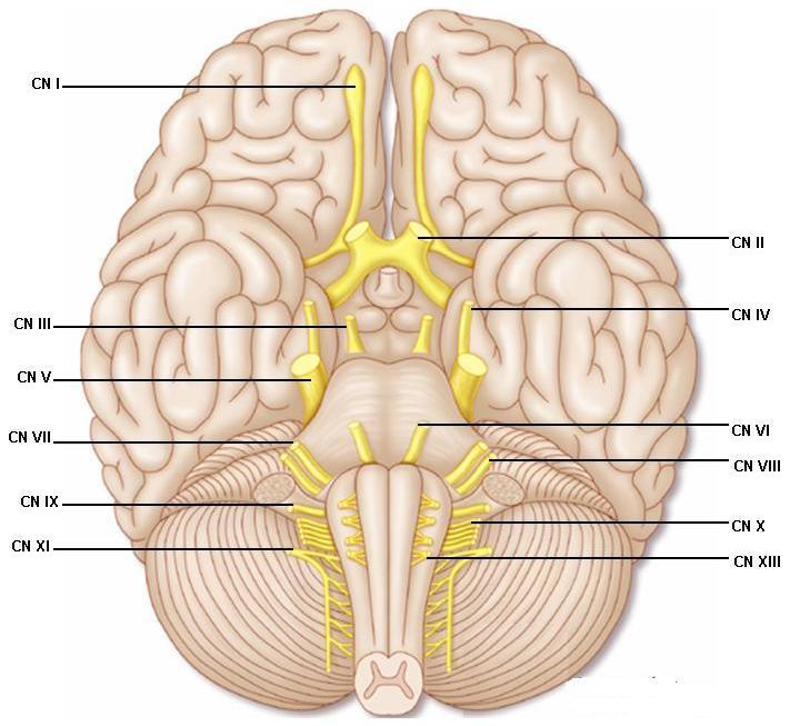 面部神经系统结构图
