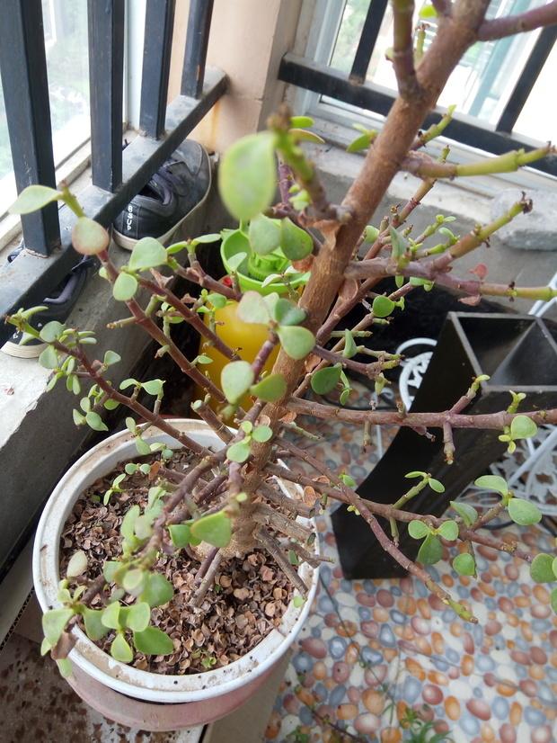 家里有个盆栽植物,叶子上下四叶对称,发的枝也是4个方向对称有层次和