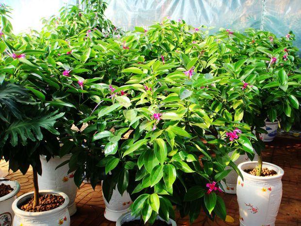 松土和换盆:在盆栽平安树的生长季节最好每月