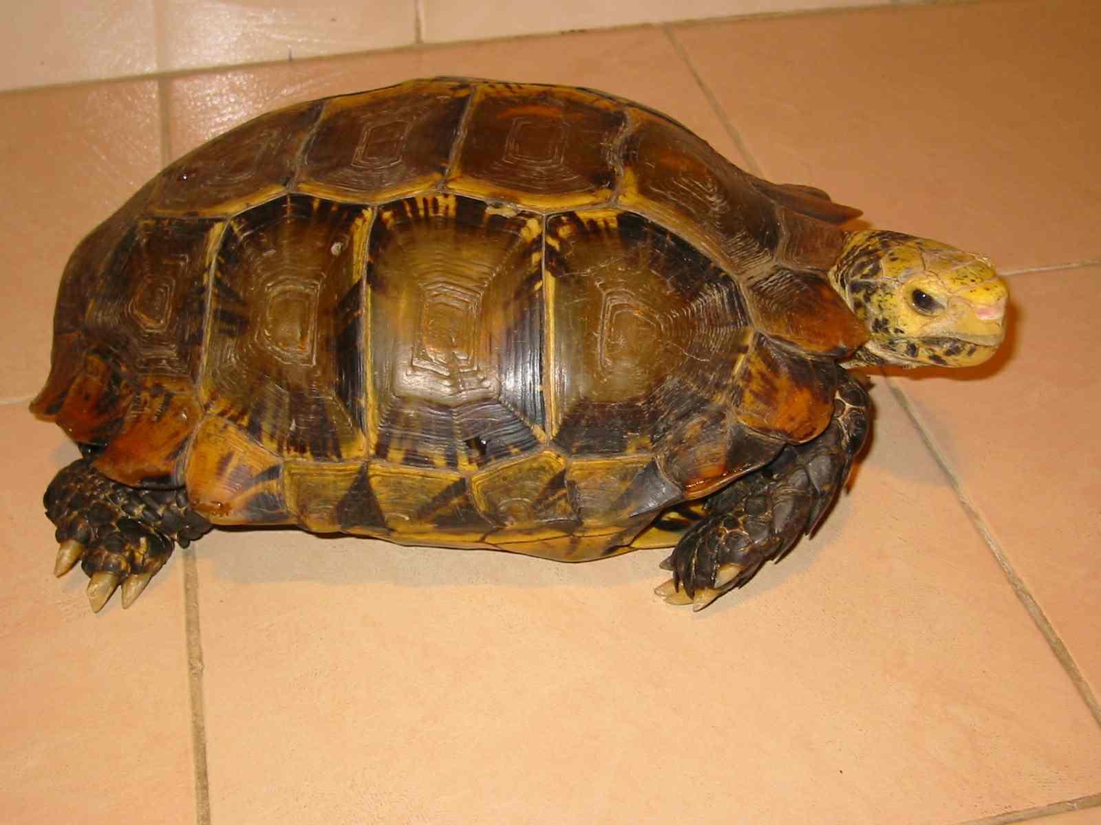陆龟不排蛋怎么办