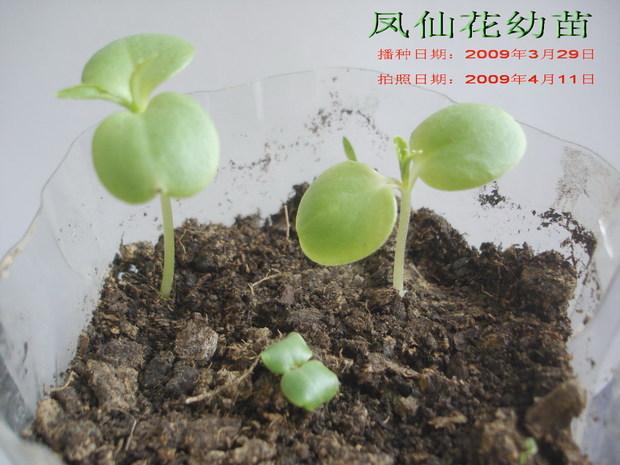 凤仙花的幼苗的样子是怎样的