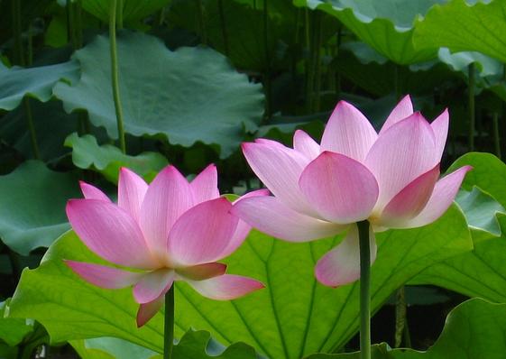 肚脐里长出来的宛如从脐状茎长出的一朵莲花。密教大师莲花生将佛教传入西藏他同样被神化为生于一朵奇异的莲花上开放在印度的乌仗那王国的丹纳阔沙湖上。在印度教和佛教经文中莲花被性隐喻为神圣子宫或阴道。莲花是梵文女性阴道的同义词女性阴道柔软呈粉红色且有开口。同样金刚是男性阴茎的同义词。金刚和莲花的结合是色与空 或方便与智慧结合的性象征。在内在的层面上这种结合象征着气渗入人体内主脉并升腾它会穿透并开启脉轮中的莲花或轮 。 莲花是西方红色阿弥陀佛即莲花部怙主的象征。阿弥陀佛的特质代表着火的红色、生命体液、黄昏