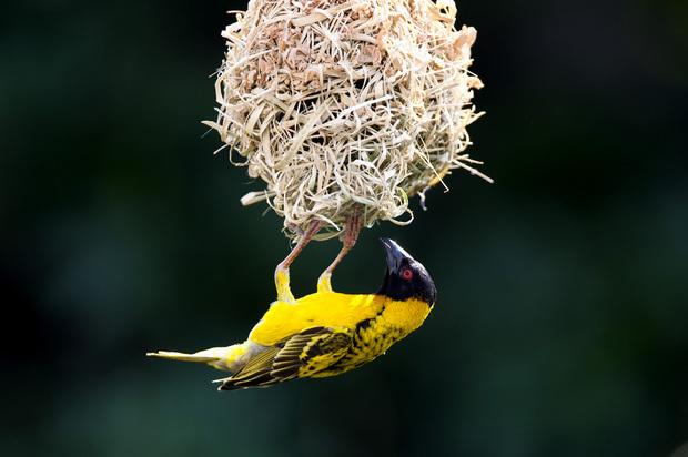 织布鸟是鸟类乃至动物中最优秀的纺织工