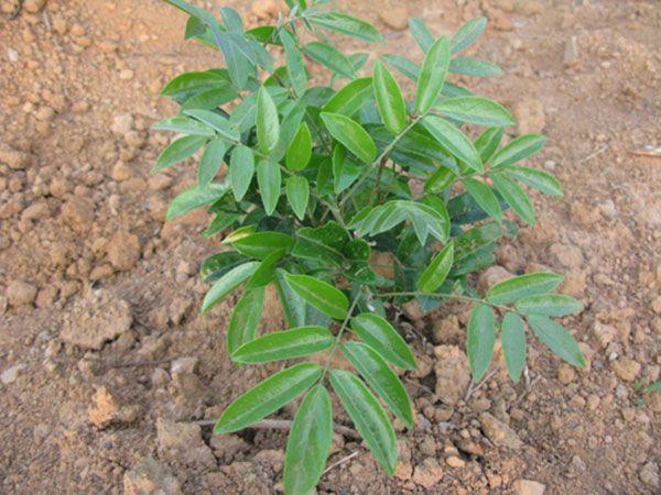 腰膝酸软脾肾亏虚表现:这植物让你生龙活虎 - 一统江山 - 一统江山的博客