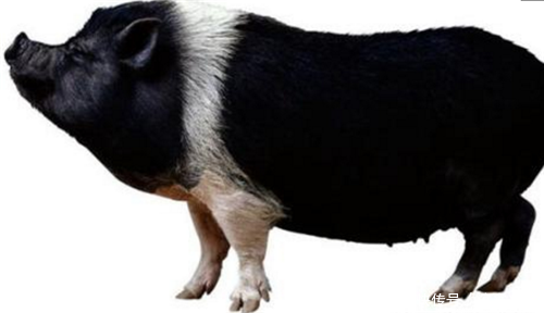 母猪从断奶到配种的关键几天,你做好了吗?