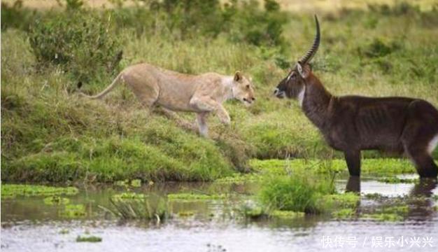 羚羊被逼河里,眼看就要丧命,结局让有了为之一震