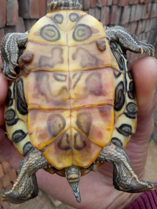 怎么分辨巴西龟公母图片