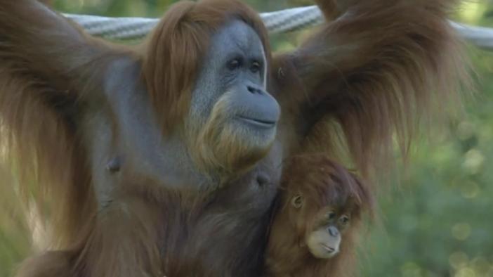 全球首次!美国9只类人猿接种新冠疫苗