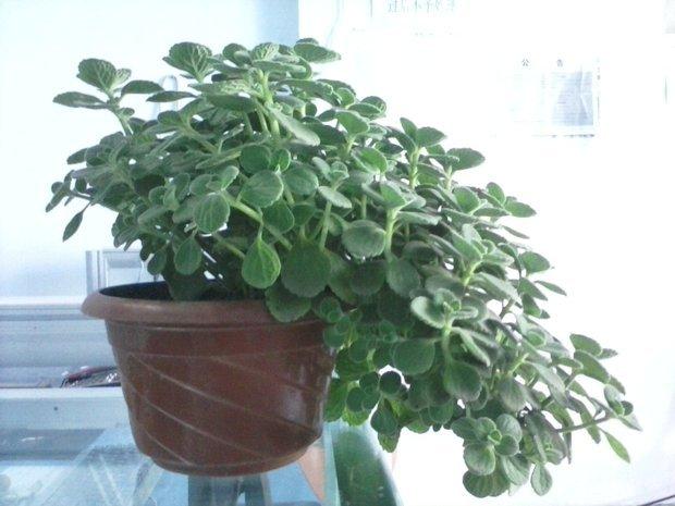 形状跟凹叶景天很像 但是叶面有白色绒毛 求教植物名及作用.图片